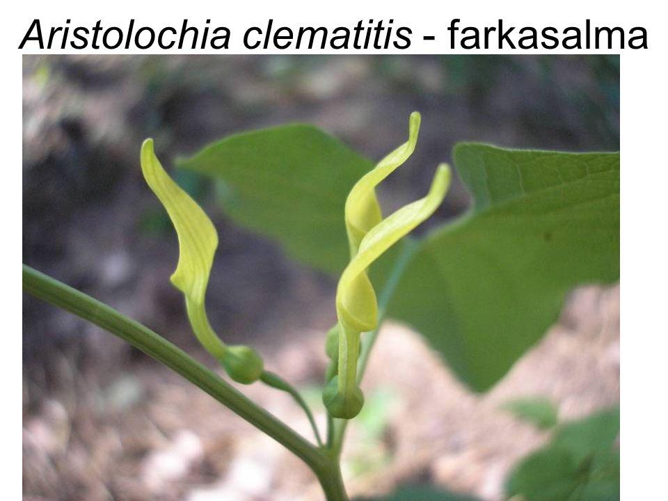 Aristolochia clematitis - farkasalma