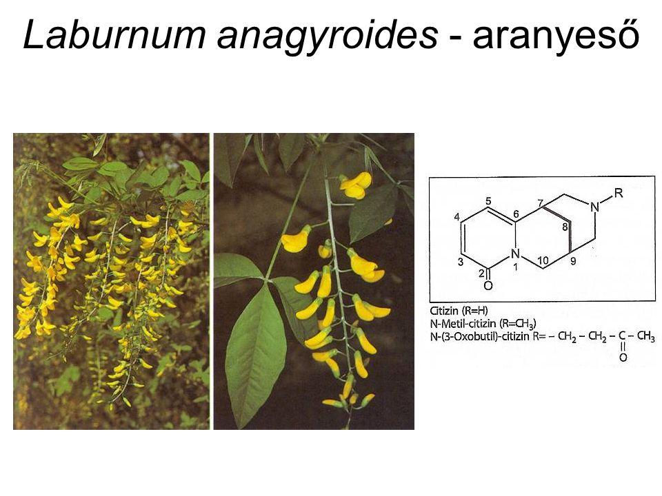 Laburnum anagyroides - aranyeső