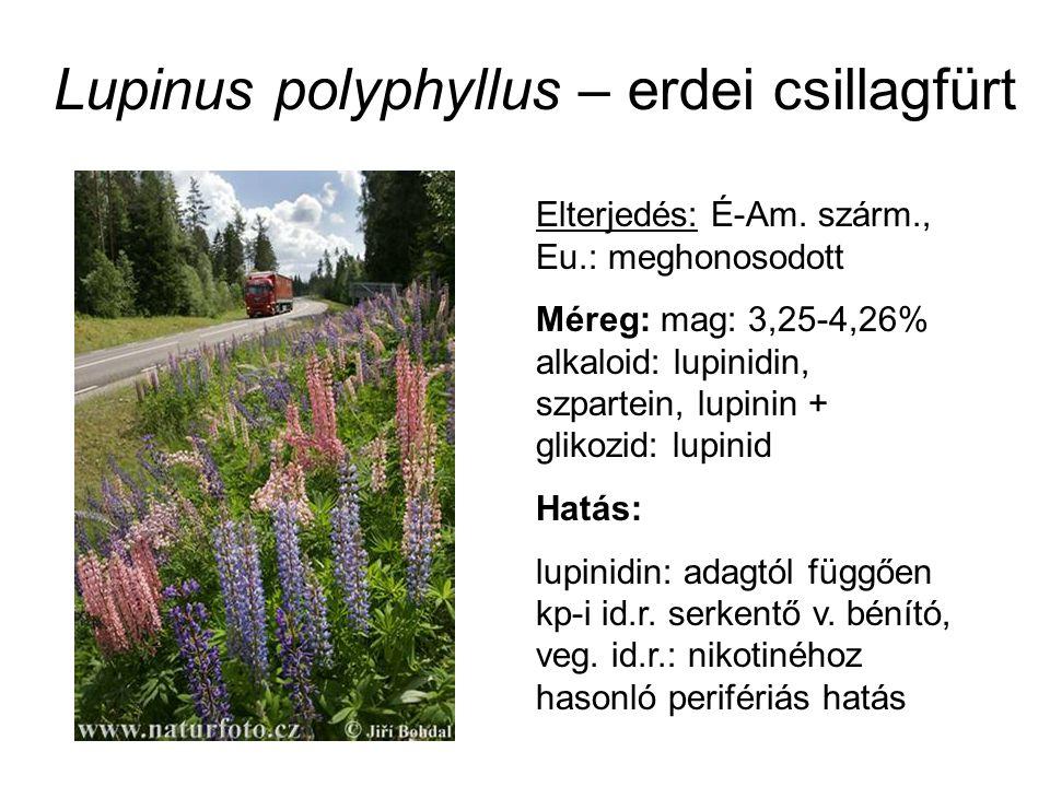 Lupinus polyphyllus – erdei csillagfürt Elterjedés: É-Am. szárm., Eu.: meghonosodott Méreg: mag: 3,25-4,26% alkaloid: lupinidin, szpartein, lupinin +