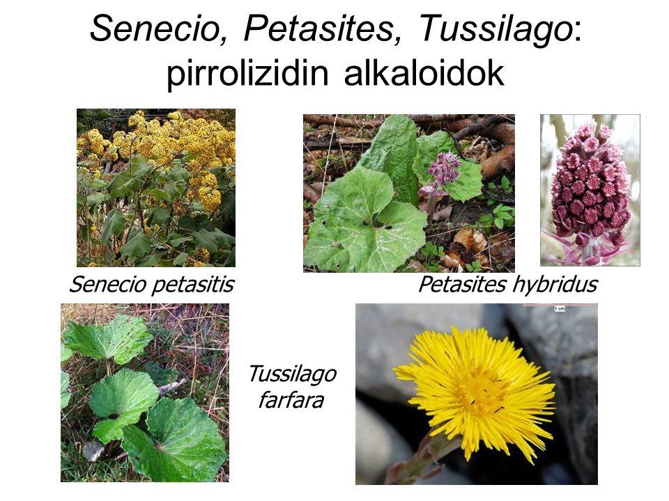 Senecio, Petasites, Tussilago: pirrolizidin alkaloidok Senecio petasitis Petasites hybridus Tussilago farfara