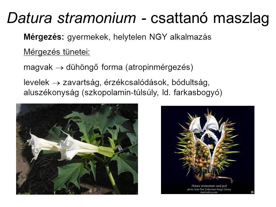 Datura stramonium - csattanó maszlag Mérgezés: gyermekek, helytelen NGY alkalmazás Mérgezés tünetei: magvak  dühöngő forma (atropinmérgezés) levelek  zavartság, érzékcsalódások, bódultság, aluszékonyság (szkopolamin-túlsúly, ld.