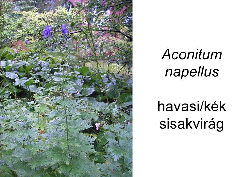 Aconitum napellus havasi/kék sisakvirág