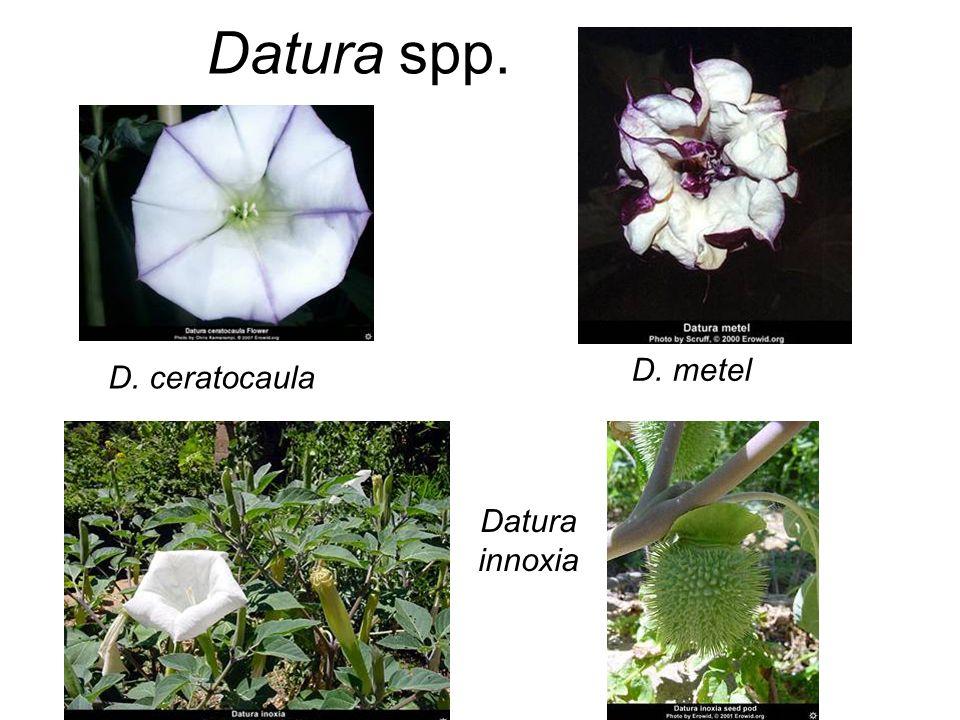 Datura spp. D. ceratocaula D. metel Datura innoxia