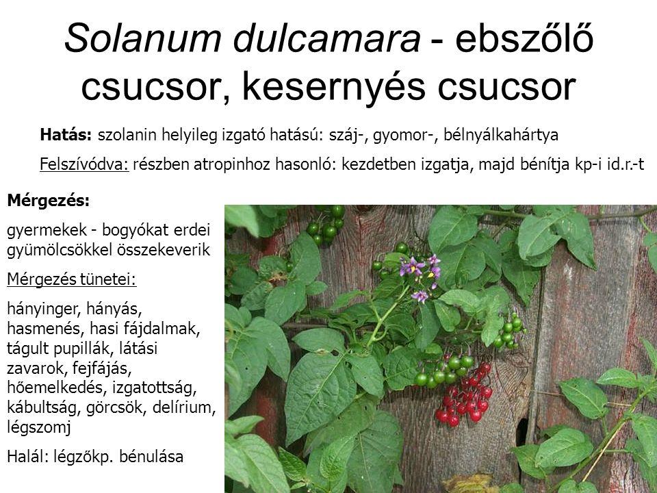 Solanum dulcamara - ebszőlő csucsor, kesernyés csucsor Hatás: szolanin helyileg izgató hatású: száj-, gyomor-, bélnyálkahártya Felszívódva: részben atropinhoz hasonló: kezdetben izgatja, majd bénítja kp-i id.r.-t Mérgezés: gyermekek - bogyókat erdei gyümölcsökkel összekeverik Mérgezés tünetei: hányinger, hányás, hasmenés, hasi fájdalmak, tágult pupillák, látási zavarok, fejfájás, h ő emelkedés, izgatottság, kábultság, görcsök, delírium, légszomj Halál: légz ő kp.