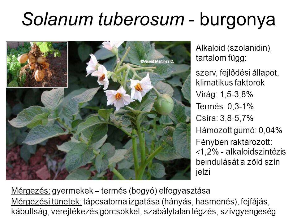 Solanum tuberosum - burgonya Alkaloid (szolanidin) tartalom függ: szerv, fejlődési állapot, klimatikus faktorok Virág: 1,5-3,8% Termés: 0,3-1% Csíra: 3,8-5,7% Hámozott gumó: 0,04% Fényben raktározott: < 1,2% - alkaloidszintézis beindulását a zöld szín jelzi Mérgezés: gyermekek – termés (bogyó) elfogyasztása Mérgezési tünetek: tápcsatorna izgatása (hányás, hasmenés), fejfájás, kábultság, verejtékezés görcsökkel, szabálytalan légzés, szívgyengeség