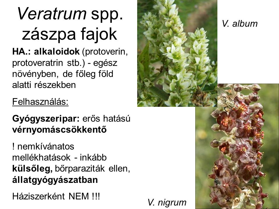 Veratrum spp. zászpa fajok HA.: alkaloidok (protoverin, protoveratrin stb.) - egész növényben, de főleg föld alatti részekben Felhasználás: Gyógyszeri
