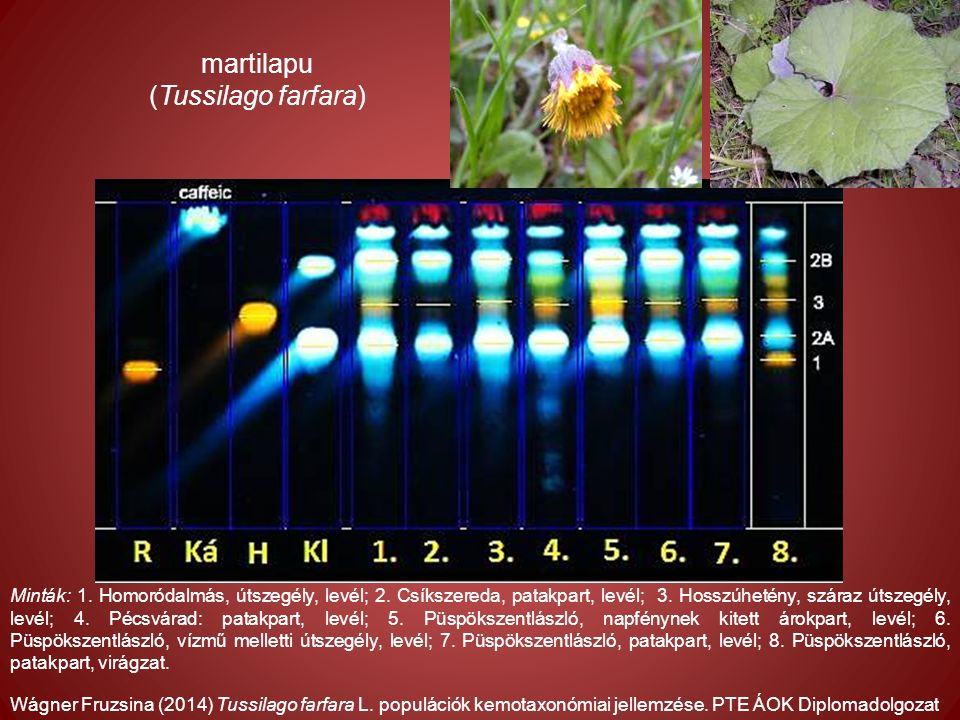 Wágner Fruzsina (2014) Tussilago farfara L. populációk kemotaxonómiai jellemzése.