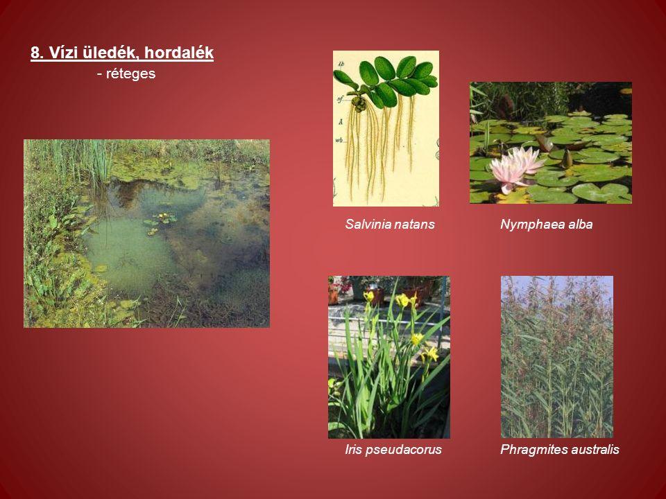 8. Vízi üledék, hordalék - réteges Salvinia natans Nymphaea alba Iris pseudacorus Phragmites australis