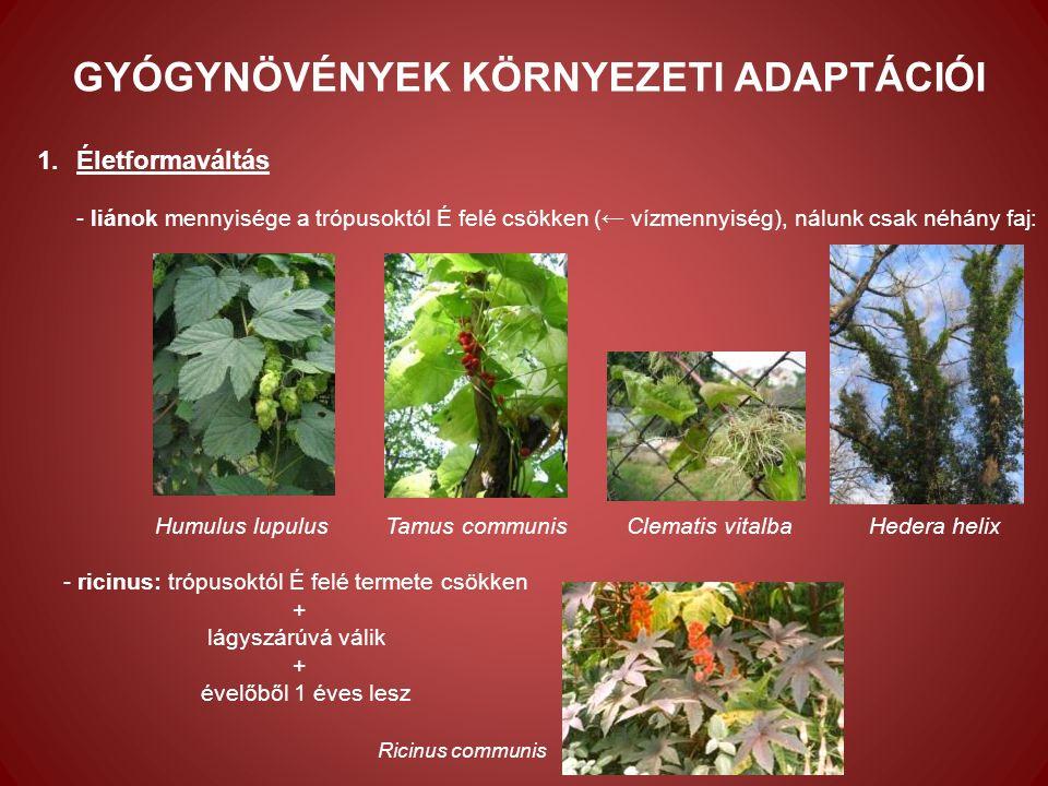 Alkaloidok 1.mák (Papaver somniferum) - Petheő et al.