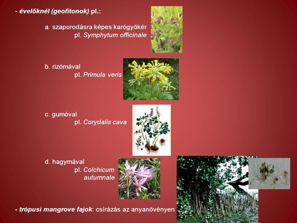 - évelőknél (geofitonok) pl.: a. szaporodásra képes karógyökér pl.
