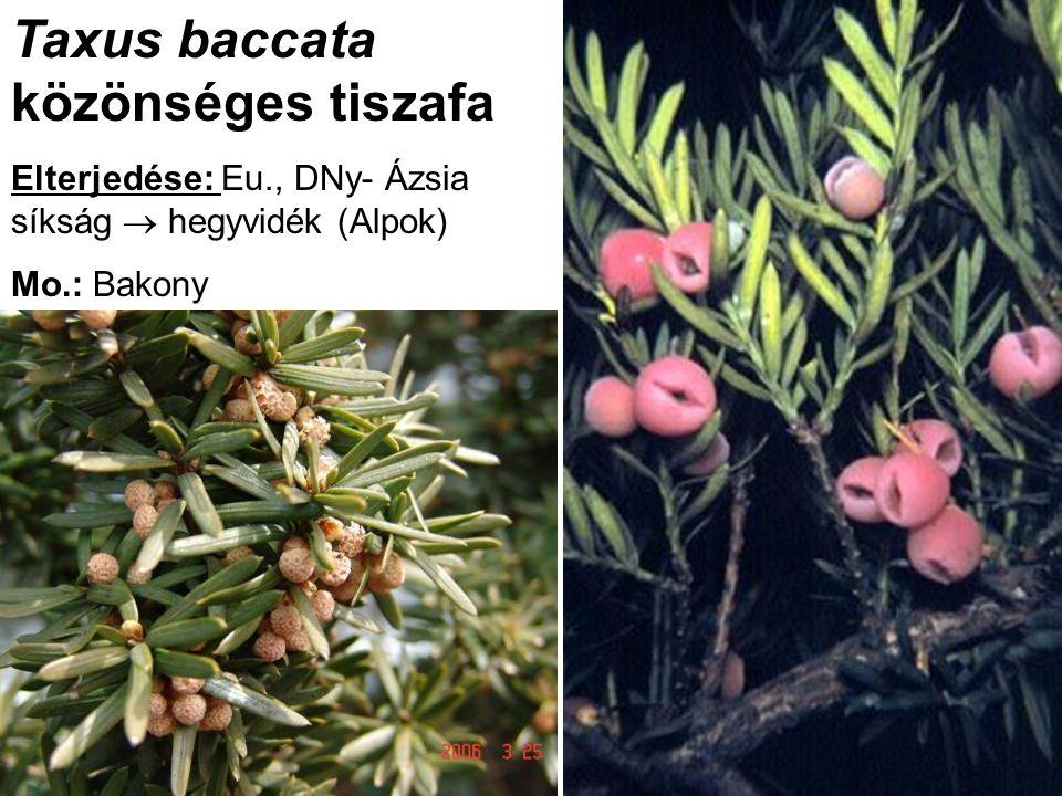 Taxus baccata közönséges tiszafa Elterjedése: Eu., DNy- Ázsia síkság  hegyvidék (Alpok) Mo.: Bakony