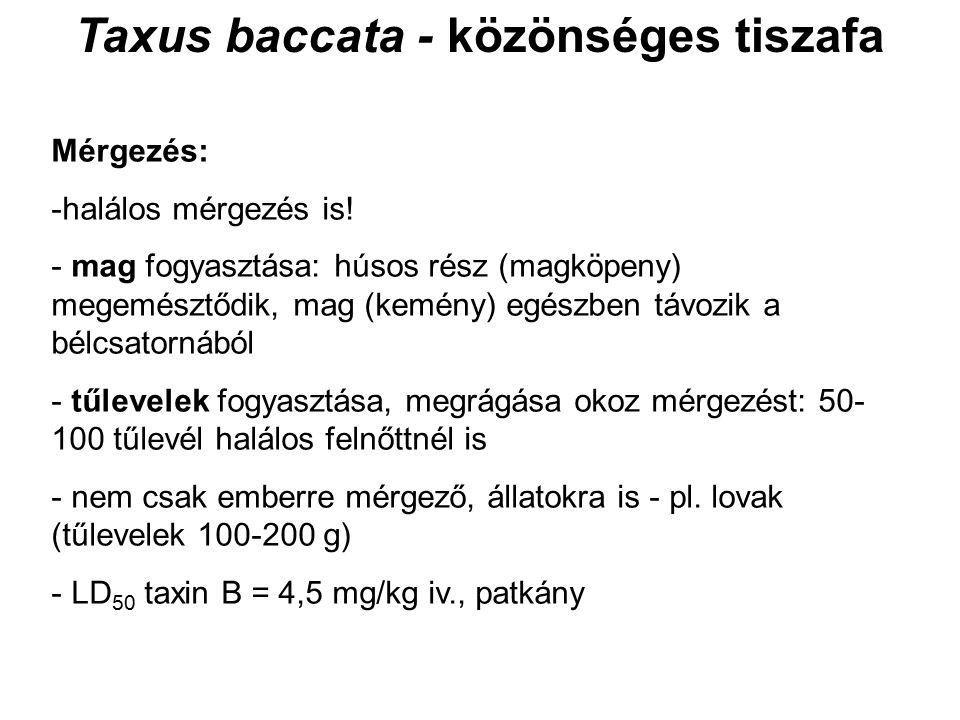 Taxus baccata - közönséges tiszafa Mérgezés: -halálos mérgezés is! - mag fogyasztása: húsos rész (magköpeny) megemésztődik, mag (kemény) egészben távo
