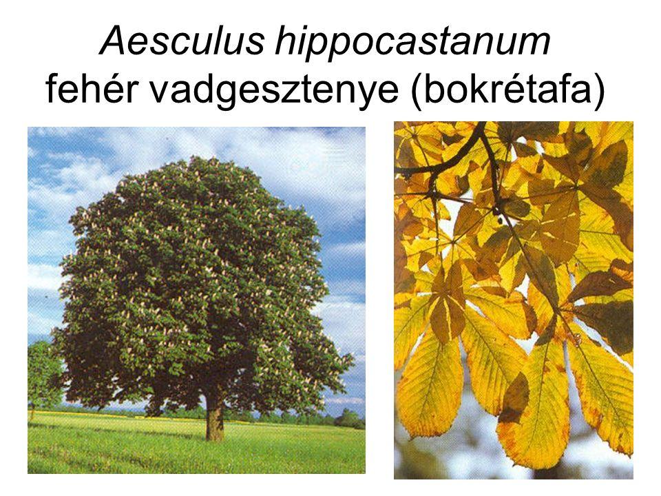 Aesculus hippocastanum fehér vadgesztenye (bokrétafa)