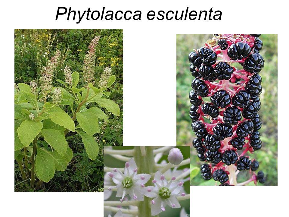 Phytolacca esculenta