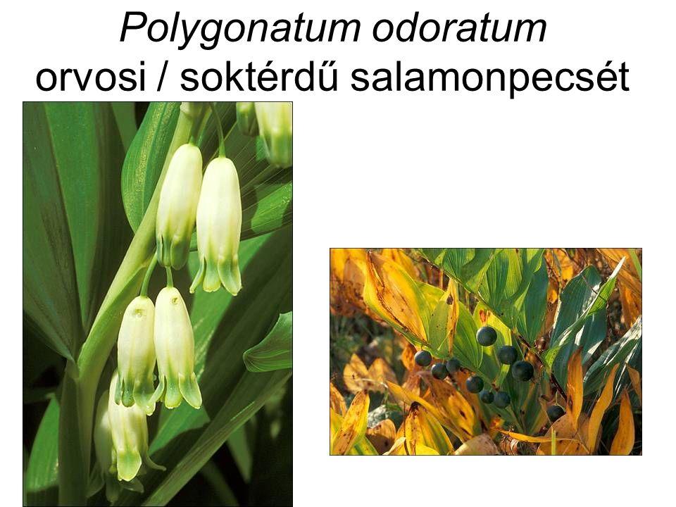 Polygonatum odoratum orvosi / soktérdű salamonpecsét