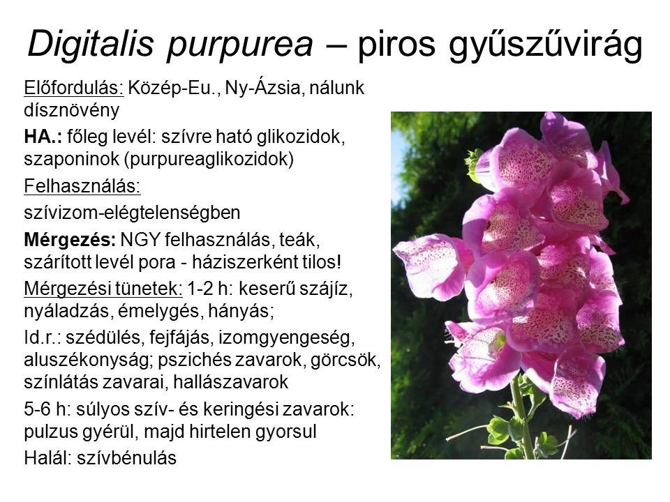 Digitalis purpurea – piros gyűszűvirág Előfordulás: Közép-Eu., Ny-Ázsia, nálunk dísznövény HA.: főleg levél: szívre ható glikozidok, szaponinok (purpureaglikozidok) Felhasználás: szívizom-elégtelenségben Mérgezés: NGY felhasználás, teák, szárított levél pora - háziszerként tilos.