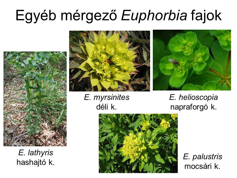 Egyéb mérgező Euphorbia fajok E. lathyris hashajtó k. E. helioscopia napraforgó k. E. palustris mocsári k. E. myrsinites déli k.