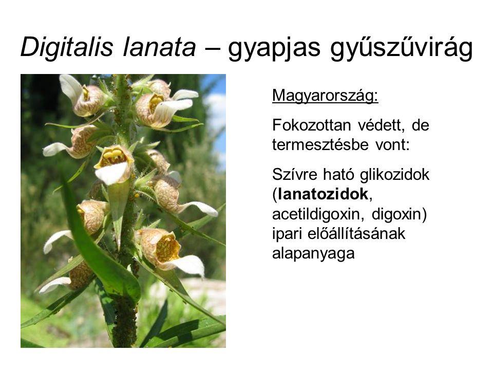 Digitalis lanata – gyapjas gyűszűvirág Magyarország: Fokozottan védett, de termesztésbe vont: Szívre ható glikozidok (lanatozidok, acetildigoxin, digoxin) ipari előállításának alapanyaga
