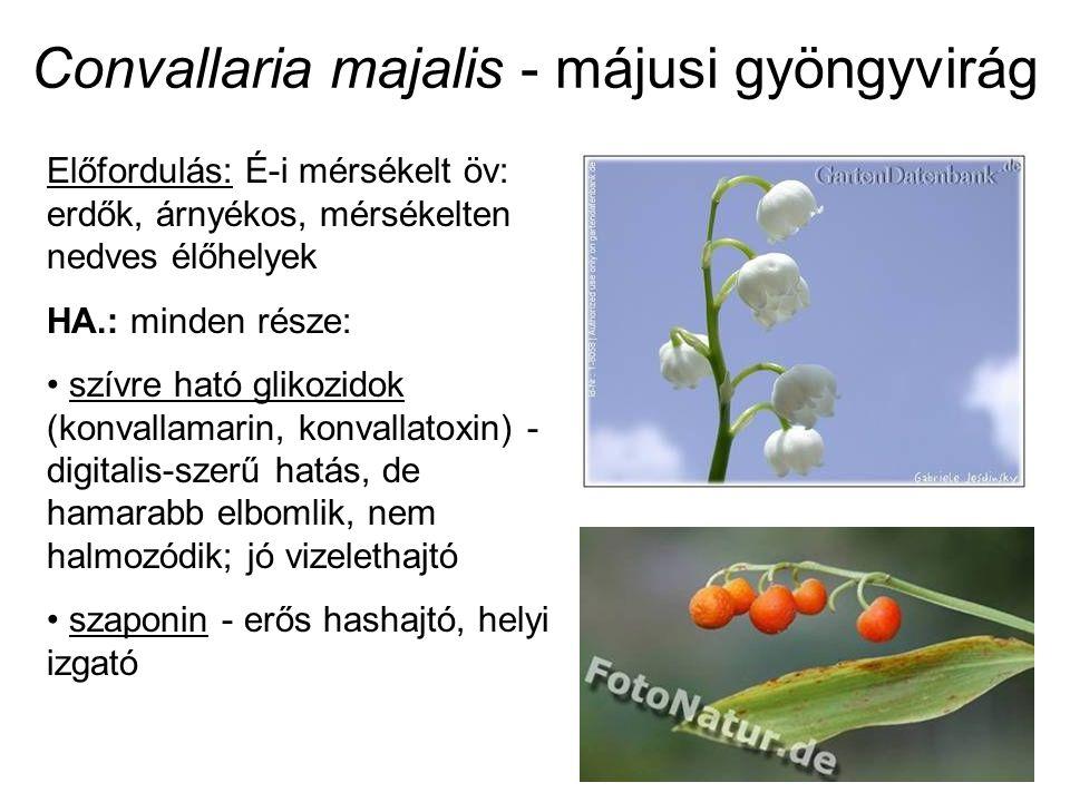 Convallaria majalis - májusi gyöngyvirág Előfordulás: É-i mérsékelt öv: erdők, árnyékos, mérsékelten nedves élőhelyek HA.: minden része: szívre ható glikozidok (konvallamarin, konvallatoxin) - digitalis-szerű hatás, de hamarabb elbomlik, nem halmozódik; jó vizelethajtó szaponin - erős hashajtó, helyi izgató
