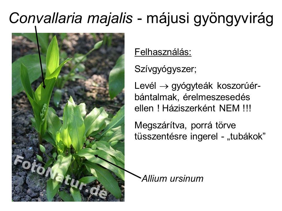 Convallaria majalis - májusi gyöngyvirág Felhasználás: Szívgyógyszer; Levél  gyógyteák koszorúér- bántalmak, érelmeszesedés ellen .