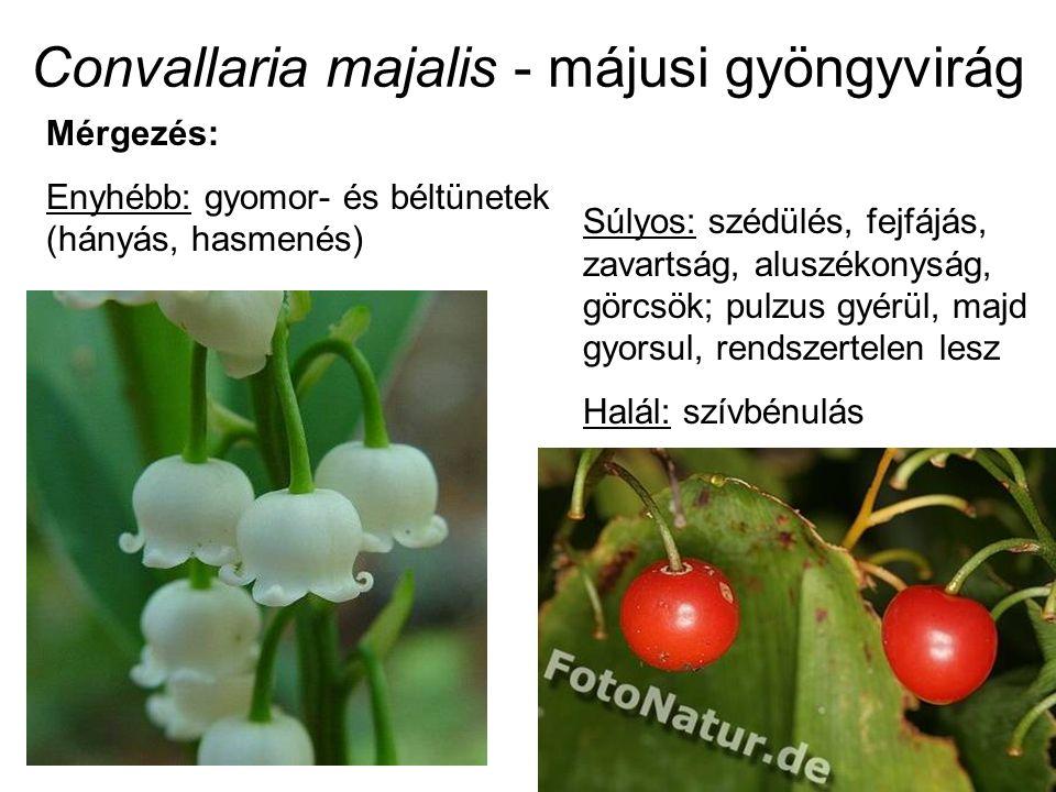 Convallaria majalis - májusi gyöngyvirág Súlyos: szédülés, fejfájás, zavartság, aluszékonyság, görcsök; pulzus gyérül, majd gyorsul, rendszertelen les