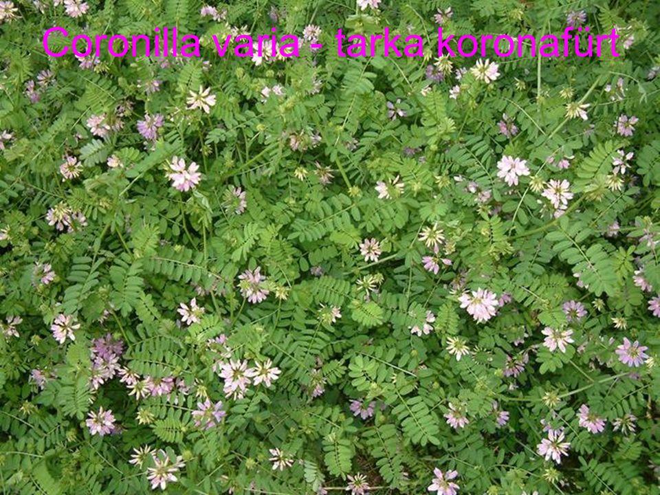 Coronilla varia - tarka koronafürt