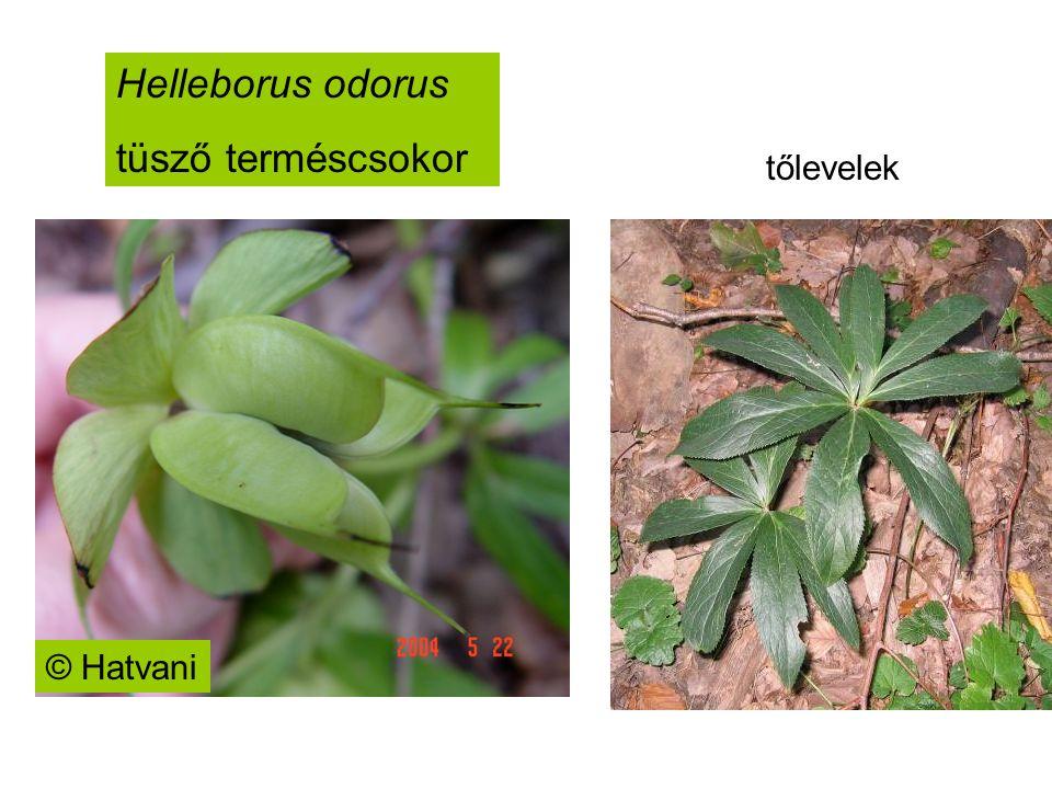 Helleborus odorus tüsző terméscsokor © Hatvani tőlevelek