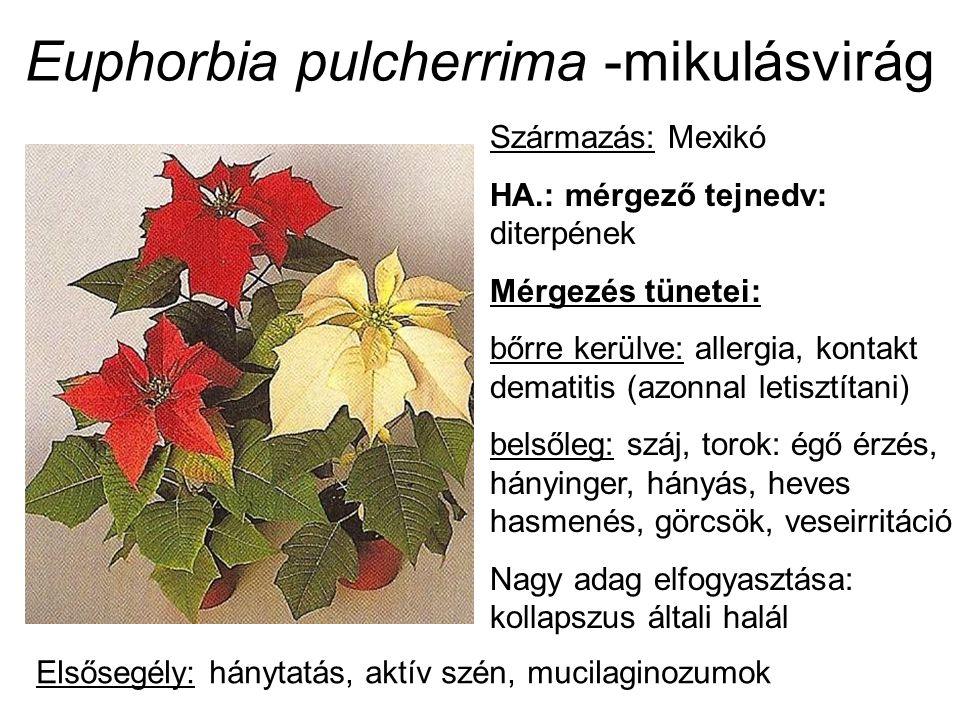Euphorbia pulcherrima -mikulásvirág Származás: Mexikó HA.: mérgező tejnedv: diterpének Mérgezés tünetei: bőrre kerülve: allergia, kontakt dematitis (azonnal letisztítani) belsőleg: száj, torok: égő érzés, hányinger, hányás, heves hasmenés, görcsök, veseirritáció Nagy adag elfogyasztása: kollapszus általi halál Elsősegély: hánytatás, aktív szén, mucilaginozumok