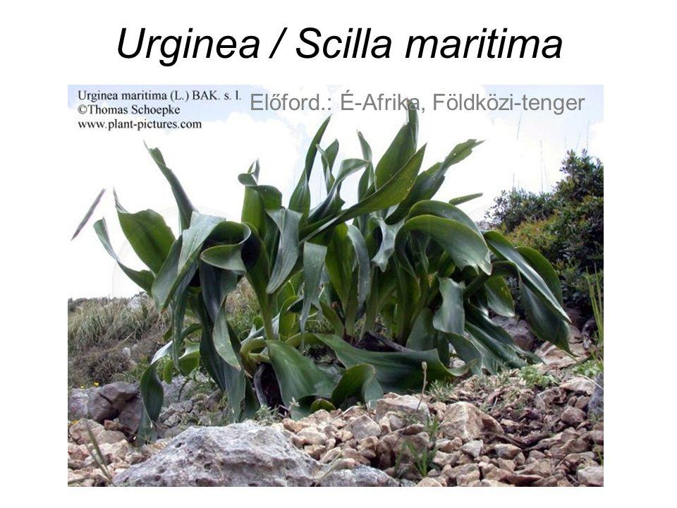 Urginea / Scilla maritima Előford.: É-Afrika, Földközi-tenger