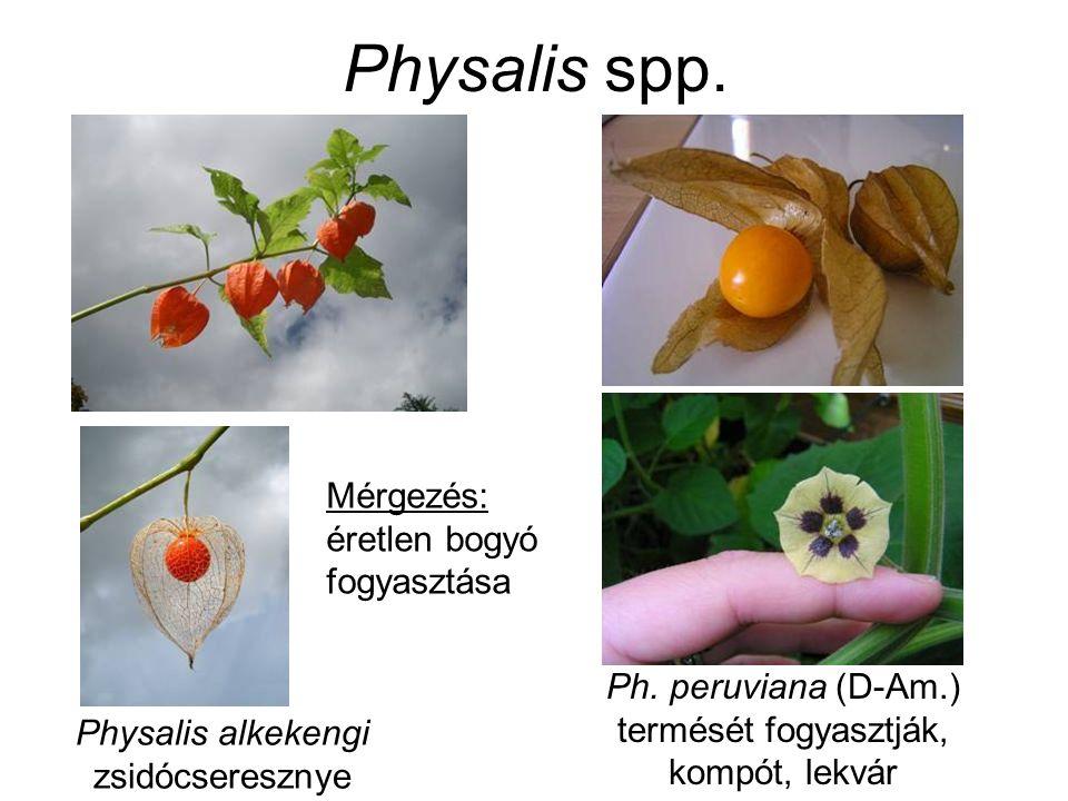 Physalis spp. Physalis alkekengi zsidócseresznye Ph. peruviana (D-Am.) termését fogyasztják, kompót, lekvár Mérgezés: éretlen bogyó fogyasztása