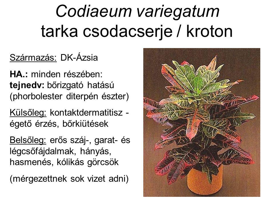 Codiaeum variegatum tarka csodacserje / kroton Származás: DK-Ázsia HA.: minden részében: tejnedv: bőrizgató hatású (phorbolester diterpén észter) Küls