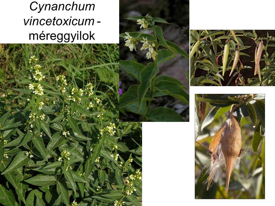 Cynanchum vincetoxicum - méreggyilok