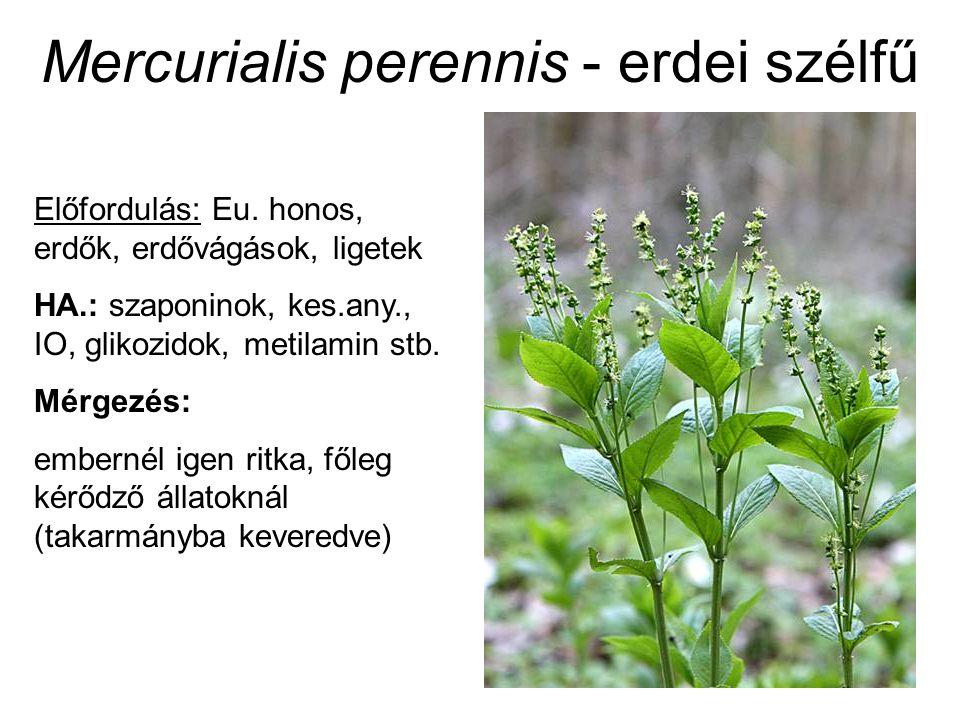 Mercurialis perennis - erdei szélfű Előfordulás: Eu. honos, erdők, erdővágások, ligetek HA.: szaponinok, kes.any., IO, glikozidok, metilamin stb. Mérg