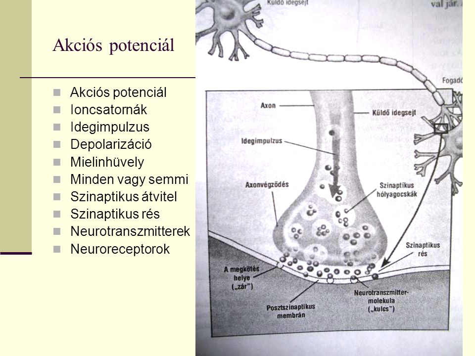 Akciós potenciál Ioncsatornák Idegimpulzus Depolarizáció Mielinhüvely Minden vagy semmi Szinaptikus átvitel Szinaptikus rés Neurotranszmitterek Neuroreceptorok