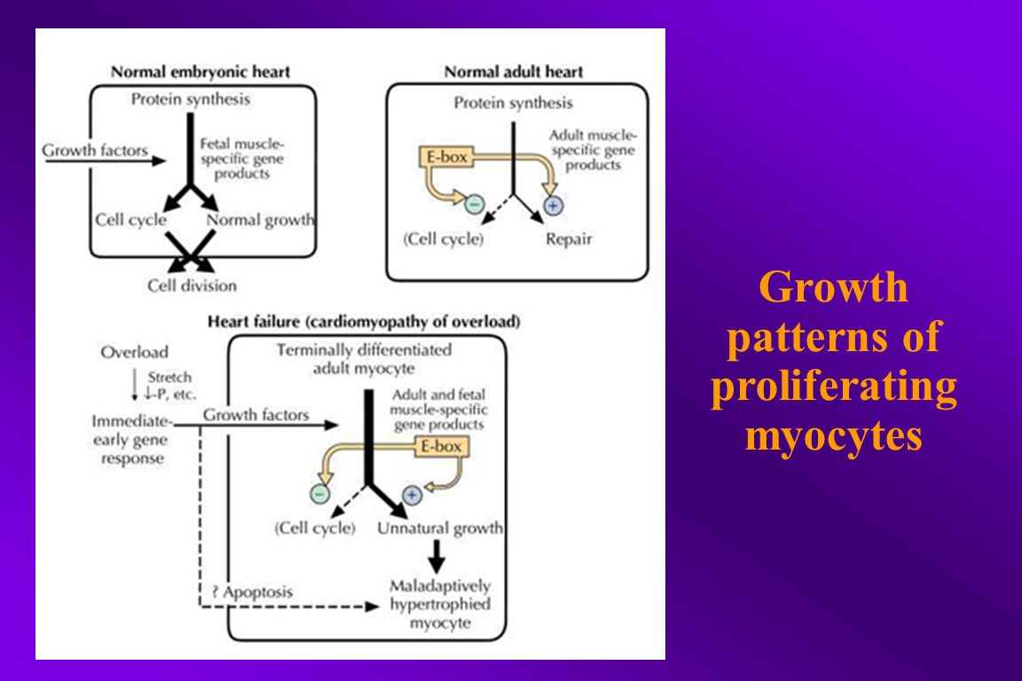 Growth patterns of proliferating myocytes