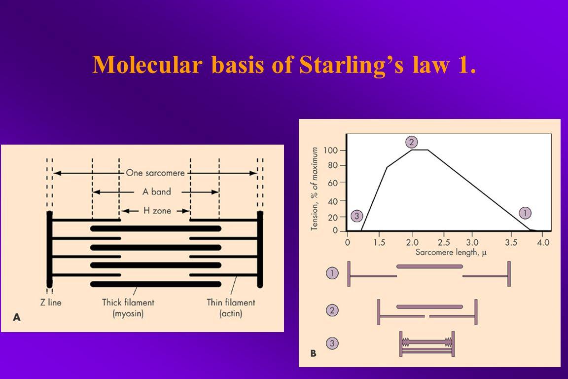 Molecular basis of Starling's law 2.