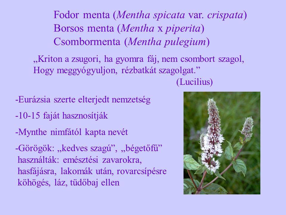 Fodor menta (Mentha spicata var. crispata) Borsos menta (Mentha x piperita) Csombormenta (Mentha pulegium) -Eurázsia szerte elterjedt nemzetség -10-15