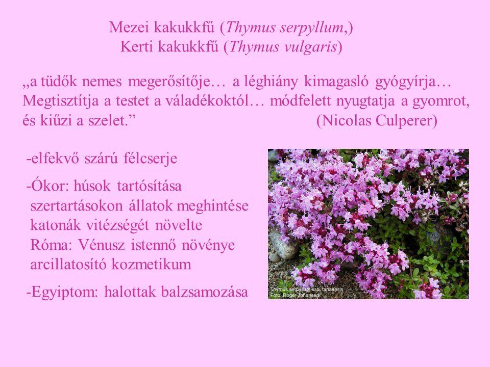 Mezei kakukkfű (Thymus serpyllum,) Kerti kakukkfű (Thymus vulgaris) -elfekvő szárú félcserje -Ókor: húsok tartósítása szertartásokon állatok meghintés