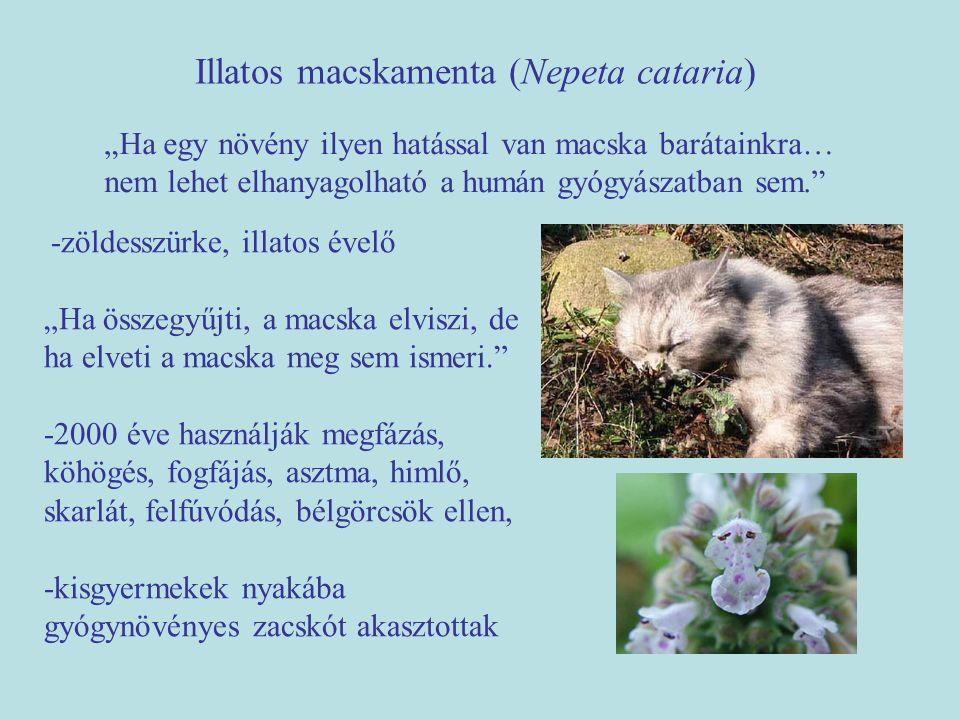 """Illatos macskamenta (Nepeta cataria) """"Ha egy növény ilyen hatással van macska barátainkra… nem lehet elhanyagolható a humán gyógyászatban sem."""" -zölde"""