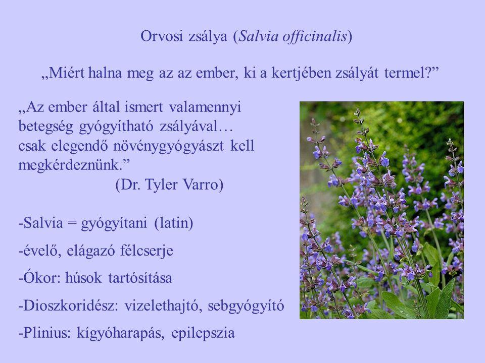 """Orvosi zsálya (Salvia officinalis) """"Miért halna meg az az ember, ki a kertjében zsályát termel?"""" """"Az ember által ismert valamennyi betegség gyógyíthat"""