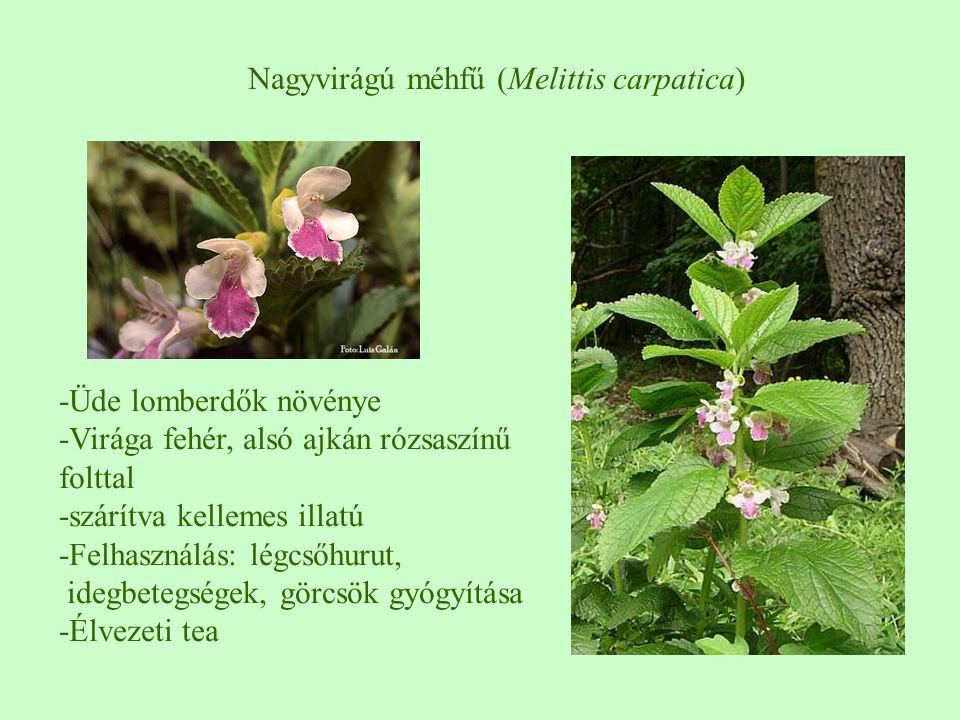 Nagyvirágú méhfű (Melittis carpatica) -Üde lomberdők növénye -Virága fehér, alsó ajkán rózsaszínű folttal -szárítva kellemes illatú -Felhasználás: lég