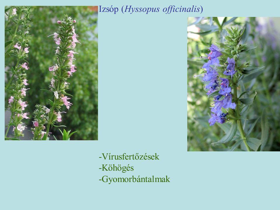 Izsóp (Hyssopus officinalis) -Vírusfertőzések -Köhögés -Gyomorbántalmak
