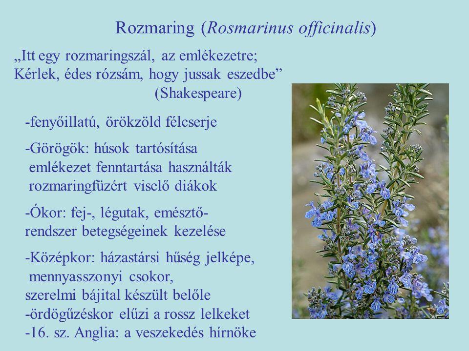 """Rozmaring (Rosmarinus officinalis) """"Itt egy rozmaringszál, az emlékezetre; Kérlek, édes rózsám, hogy jussak eszedbe"""" (Shakespeare) -fenyőillatú, örökz"""