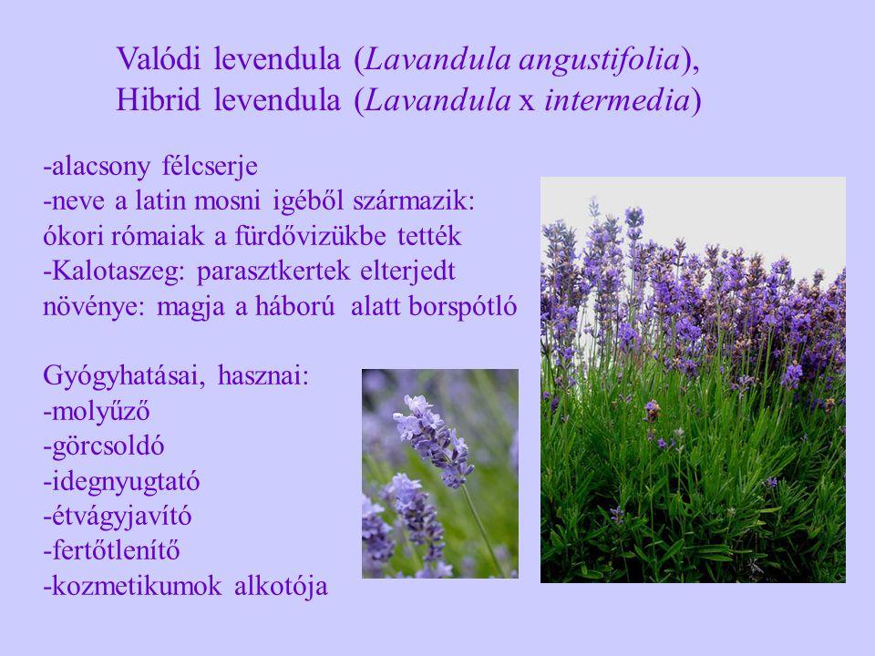 Valódi levendula (Lavandula angustifolia), Hibrid levendula (Lavandula x intermedia) -alacsony félcserje -neve a latin mosni igéből származik: ókori r