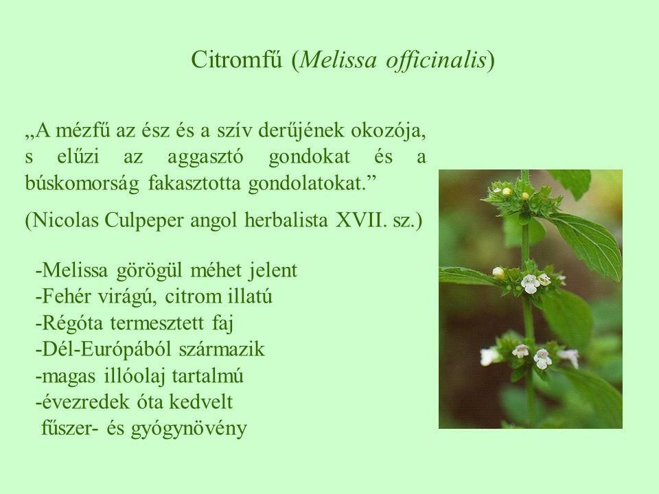 """Citromfű (Melissa officinalis) """"A mézfű az ész és a szív derűjének okozója, s elűzi az aggasztó gondokat és a búskomorság fakasztotta gondolatokat."""" ("""