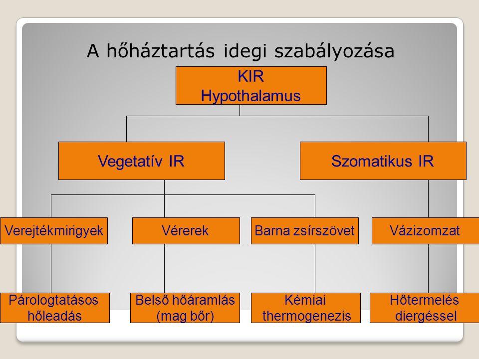 A hőháztartás idegi szabályozása KIR Hypothalamus Vegetatív IRSzomatikus IR VerejtékmirigyekVérerekBarna zsírszövetVázizomzat Párologtatásos hőleadás Belső hőáramlás (mag bőr) Kémiai thermogenezis Hőtermelés diergéssel