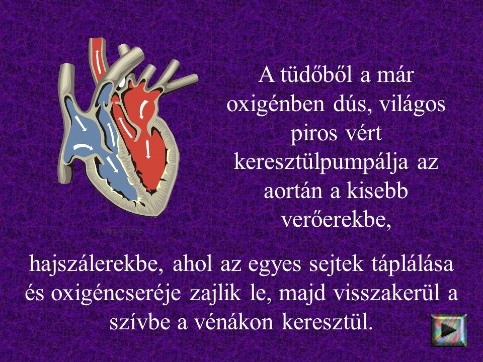 hajszálerekbe, ahol az egyes sejtek táplálása és oxigéncseréje zajlik le, majd visszakerül a szívbe a vénákon keresztül.