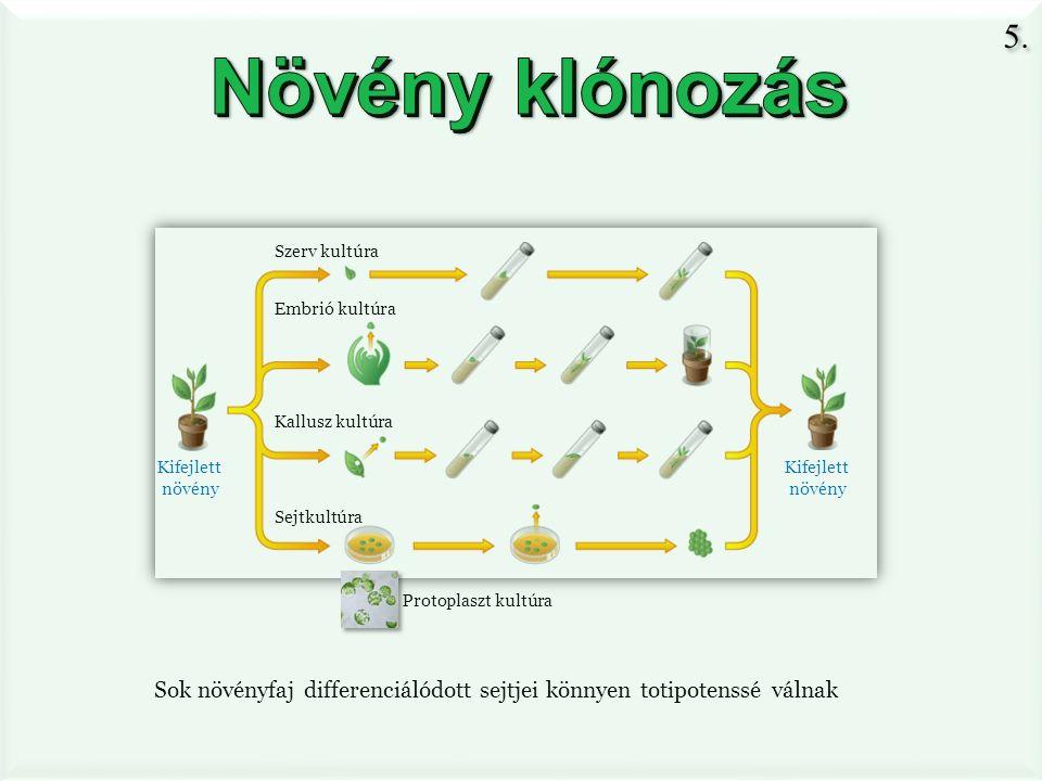 Sok növényfaj differenciálódott sejtjei könnyen totipotenssé válnak Embrió kultúra Szerv kultúra Kallusz kultúra Sejtkultúra Kifejlett növény Kifejlett növény Protoplaszt kultúra 5.