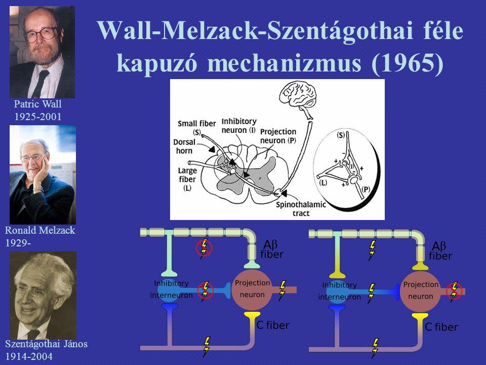 Wall-Melzack-Szentágothai féle kapuzó mechanizmus (1965) Patric Wall 1925-2001 Ronald Melzack 1929- Szentágothai János 1914-2004