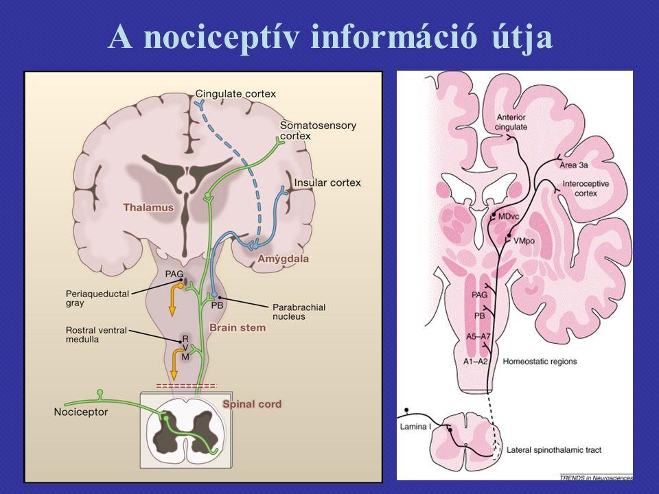 A nociceptív információ útja